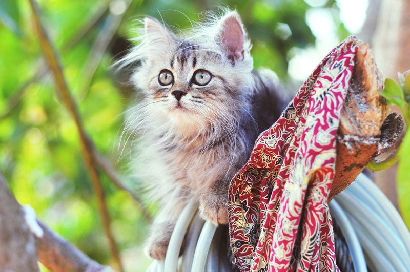 Animal Themes Cat Lovers Cats Of EyeEm Cats 🐱 Kitten 🐱 Pets Portrait Looking At Camera Close-up Kitten Feline Domestic Cat Siamese Cat Persian Cat  Animal Eye Whisker Cat Maine Coon Cat