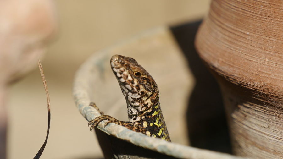 Close-up of lizard sitting in flower pot