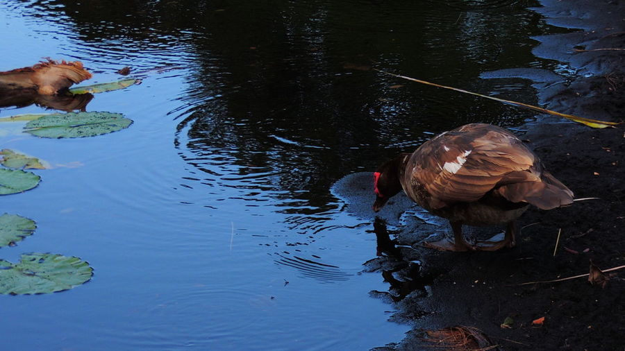 Animal Themes Animal Wildlife Animals In The Wild Bird Day Duck High Angle View Lake Nature No People One Animal Outdoors Reflection Swimming Water