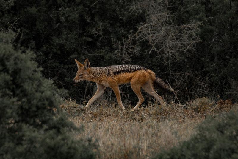 Side view of jackal walking on field