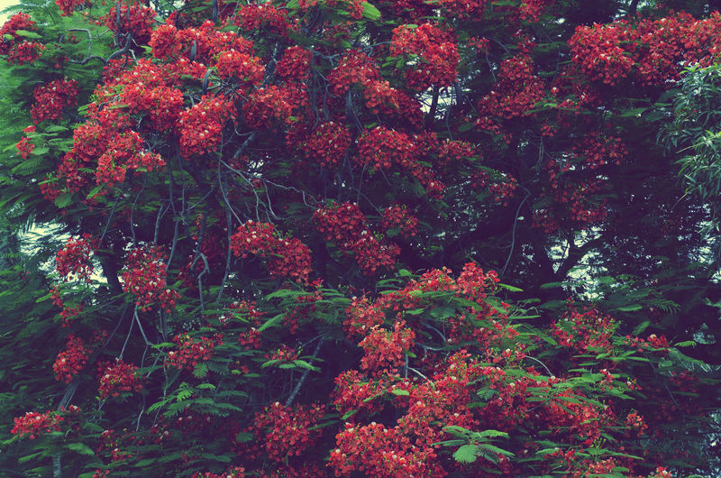 Framboyán Nature Nature_collection Nature Photography Naturelovers Flowers Flower Framboyán Naturaleza🌾🌿 Nature Beautiful Nature Beauty Nature Beauty Garden Photography Naturephotography Naturaleza Showcase July 2016 Showcase July Showcase July! Colour Of Life Color Palette Color Palette Adapted To The City Colour Your Horizn Summer Exploratorium