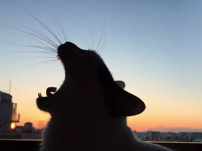 Close-Up Of Cat Yawning Against Clear Sky During Sunset