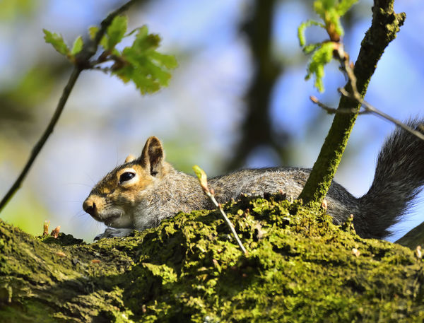 Wildlife Naturephotography Animals In The Wild Naturelovers Beauty In Nature Animal Themes One Animal Animal Wildlife EyeEm Best Shots Wildlife & Nature Nature Nature_collection EyeEm Nature Lover Mammal Grey Squirrel Relaxing Chilling Out Nature On Your Doorstep