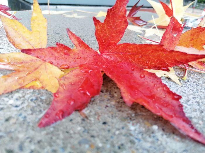 Leaf Autumn Red