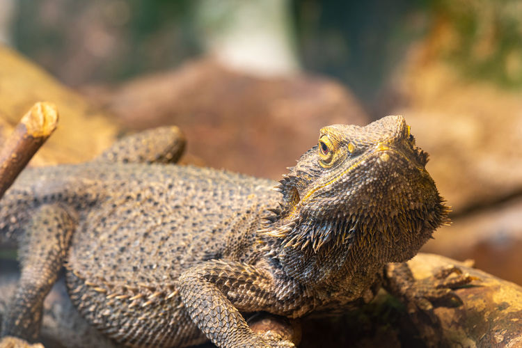 Close up of a central bearded dragon  in captivity