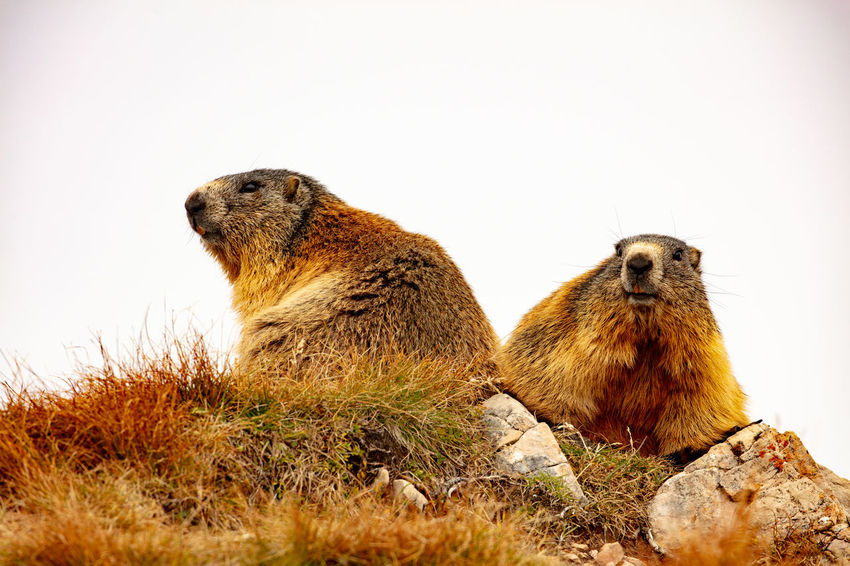 Mormots at Seceda alm in the dolomites. Mormot Murmeltier St. Ulrich Animal Animal Themes Animal Wildlife Animals In The Wild Day Mammal Murmeltiere Nature No People Odle Ortisei Seceda Vertebrate