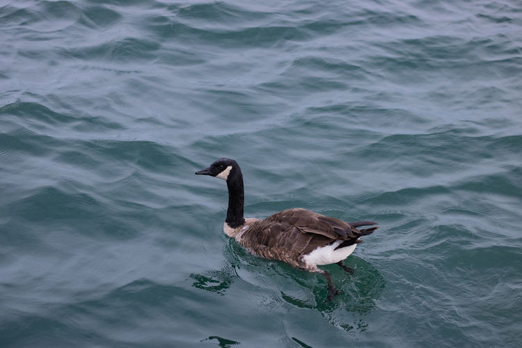 A duck with smoth sea and has nice color.
