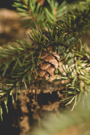Beauty In Nature Beauty In Nature Botany Close-up Cones Day Evergreen Trees Focus On Foreground Green Color Growing Growth Natural Pattern Nature No People Outdoors Pine Branch Pine Cones Pine Tree Branch Pinecone Plant Selective Focus The Week On EyeEm Tranquility Trees Woods