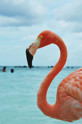 Renaissance Private Island, Aruba Caribbean Caribbean Sea Aruba Aruba♥ Lovely Aruba One Happy Island Pink Color Renaissance Private Beach, Flamingos Renaissance Private Island Flamingo Bird Water Sea Eating Animal Themes Close-up Sky Animal Neck Beak