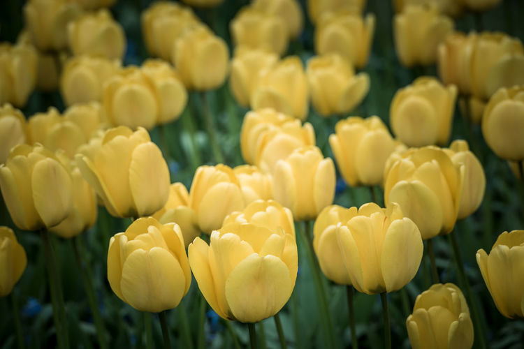 Tulips Flowers Yellow Spring Field Europe Netherlands Seasons Holland Plant Agriculture Rural Dutch Culture Floral Scenics Landscape European  Bright Summer Growth Background Nature Botany Perspective Bloom Nobody Sunlight Diminishing Countryside Farm Colorful Vanishing Scene Traditional Ground Row Sunny Vibrant Mixed Green Filtered Toned