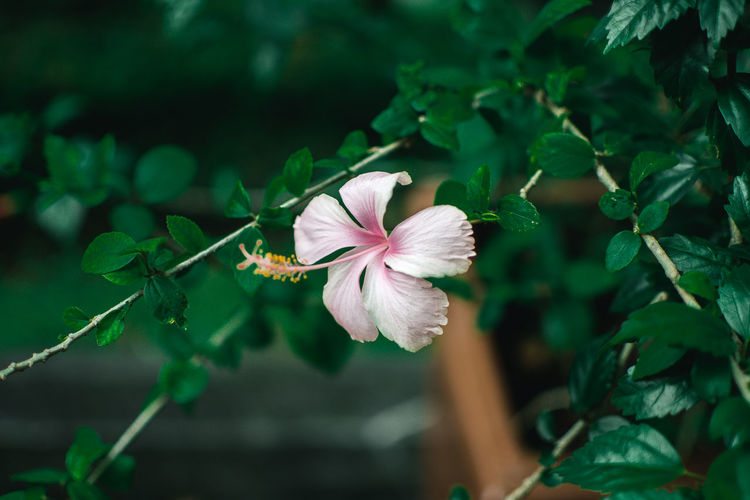 Flowering Plant Flower Plant Freshness Beauty In Nature Fragility Petal Growth Vulnerability  Close-up Flower Head Inflorescence Leaf Focus On Foreground Plant Part No People Hibiscus Nature Day Pollen
