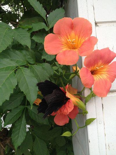 Flowers 蝶々 Butterfly