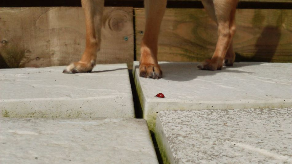 Legs Legs_only Just Legs.. Dog Leg Dog Chihuahua 4 Legs Slabs Concrete Concrete Slabs Garden Tiles Ladybird Lady Bird Nature Animals Animal Themes Dog Love Canine Paws Landscape One Dog