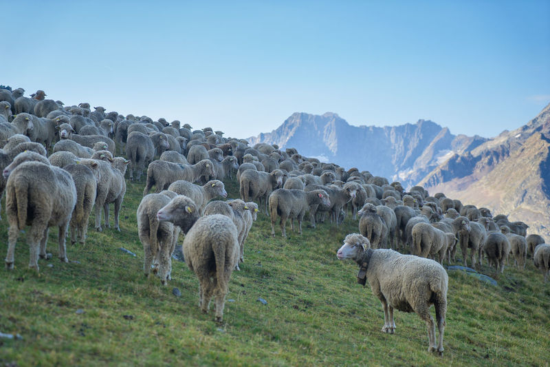 Sheep grazing on field against clear sky