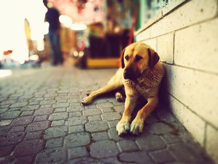 Stray dog relaxing by wall on footpath