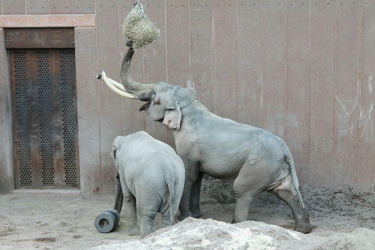 Elephants in Copenhagen Zoo Zoo Copenhagen Zoo Elephants Elephant Animals Animal Elephants Eating Copenhagen Elephants