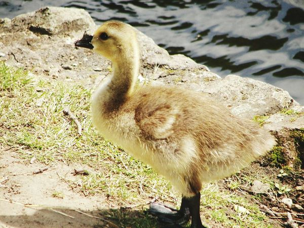 Younglings No People Goose Wildlife Wildlife & Nature Wildlife Photography Animal Photography Animals In The Wild Animals Animal Themes Geese England London Nature Nature Photography Park - Man Made Space Young Bird Water Bird Natural Parkland Gosling Bird Outdoors Lakeshore Lake One Animal
