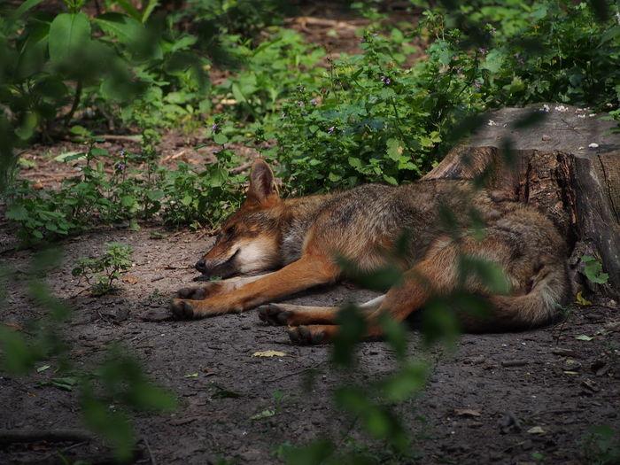 High angle view of jackal sleeping on field
