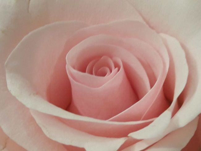 Pink Backgrounds Beauty In Nature Close-up Day Flower Flower Head Fragility Freshness Full Frame Growth Nature No People Outdoors Petal Pink Rose Petals Plant Rose - Flower Rose Flower Texture Rose🌹