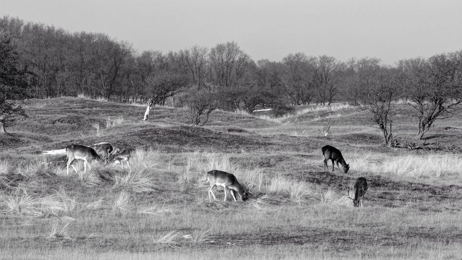 Fallow Deer Paradise Animal Themes Field Mammal Nature Grass Tree No People Domestic Animals Bare Tree Grazing Clear Sky Outdoors Day Livestock Animals In The Wild Landscape Beauty In Nature Sky Monochrome Black And White B&W Magic