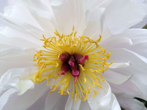 EyeEm Selects Beautifully coloured peony closeup. Flower Petal Peony  White Red Yellow Beauty In Nature Close-up No People Stamen Flower Head Outdoors Blooming Nature Fragility Daylight StillLifePhotography Natural Light Natural Beauty Plant Focus On Foreground Beautiful Beauty Peony Flower