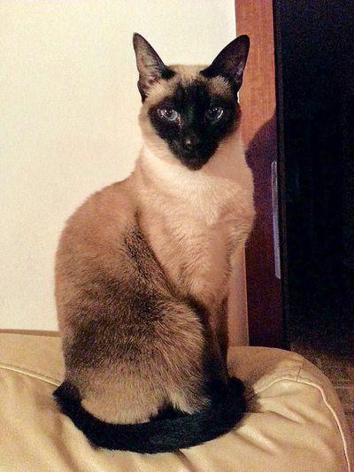 Mary la grace . miaou One AnimalDomestic Animals Animal Themes Love Hi! Photographie  Lausanne Siamois Annimals Miaou
