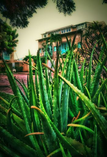 Nature_perfection Nature Photography Nature Healing Man Made Structure Green Nature Green Color Wonderful Aloe Vera Plant Plants 🌱