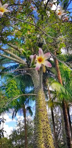 Regal and beautiful Ceiba Pentandra Silk Floss Tree Flowers, Nature And Beauty Tree Flower Branch Sky Close-up Green Color Blooming Growing In Bloom