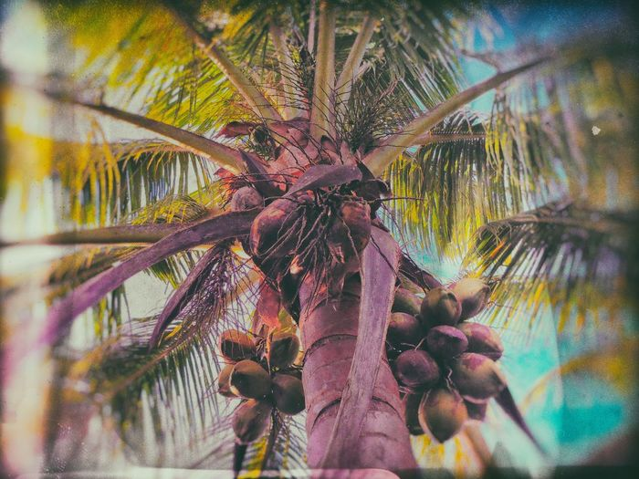 Beauty In Nature Close-up Day Food Stories Growth Low Angle View Nature No People Outdoors Palm Tree Sky Tree Tree Trunk