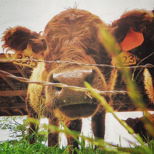 Where the grass is greener FFarm Life Cows Pittsboro North Carolina