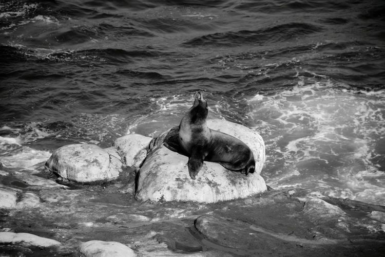We were walking at the ocean when we saw the sealions and pelicans :) Sealion  Rocks Water Vacation Sunny Day Ocean Professionalphotography Black & White Monochrome Photography Animal Animal Photography San Diego Waves, Ocean, Nature Waves Crashing Hello World Eyeemgallery Details Of Nature Nature Photography Fine Art Photography Check This Out Travel Vacation Time Light And Shadow People Of The Oceans Finding New Frontiers Black And White Friday