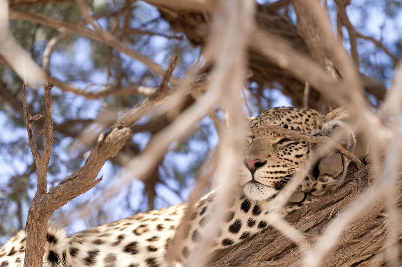 Leopard Leopard Print Leopard In Tree Leopard On A Tree Leopard Sleeping African Safari Animals Big Cat Animals In The Wild Tree Mammal Feline No People Plant Branch Carnivora Undomesticated Cat Low Angle View Animal Wildlife Animal Themes