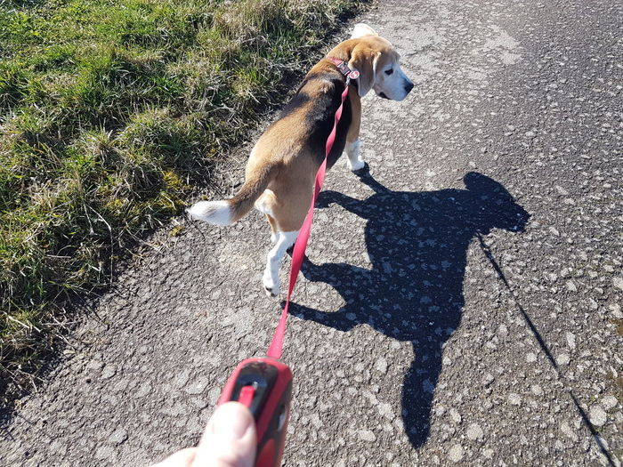 Walking the dog Beagle Low Section Pets Dog Shadow Sunlight Standing Pet Collar Pet Leash High Angle View Canine Dog Lead Leash