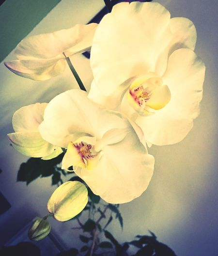 Flower Petal Growth Fragility Nature Beauty In Nature Blossom Freshness Flower Head No People Spring Close-up Blooming Outdoors Day Orchidea White EyeEmNewHere EyeEmNewHere The Week On EyeEm
