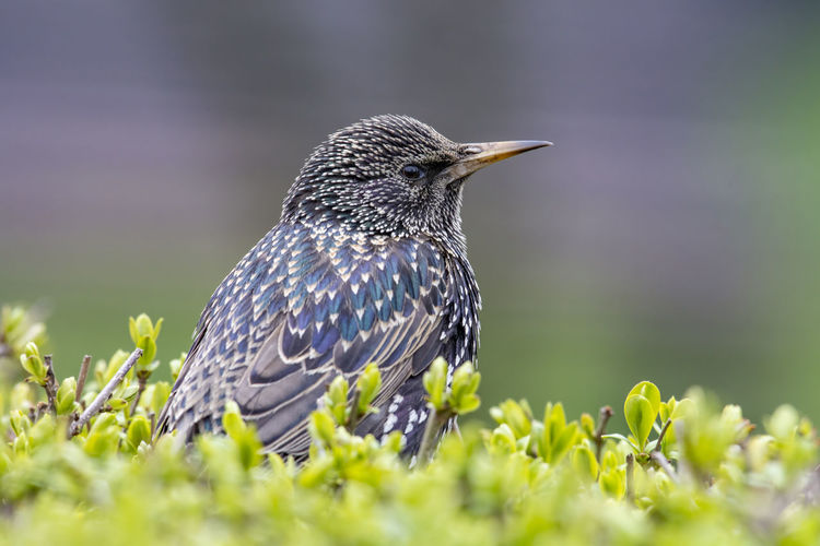 Starling (Sturnus vulgaris) sitting on the grass Sturnus Vulgaris Animal Animal Themes Animal Wildlife Animals In The Wild Beauty In Nature Bird Close-up Day Field Flower Green Color Growth Land Nature No People One Animal Perching Plant Selective Focus Starling Starling Bird Vertebrate