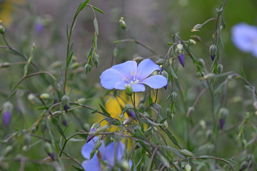 Tender Linum flax flowers and buds Blooming Blossom Blue Buds Close-up Flax Flower Flowers Fragile Fragility Growth In Bloom Linseed Lint Linum Nature Nature's Diversities New Life Petal Purple Spring Springtime Tenderness