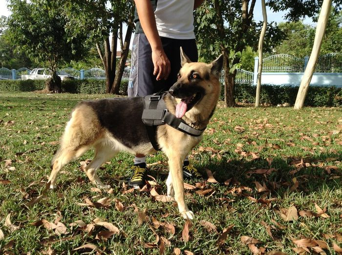Honey 2 Dog Harness Germanshepherd German Shepherd Workout Pets Dog Standing Human Hand Canine Pet Owner