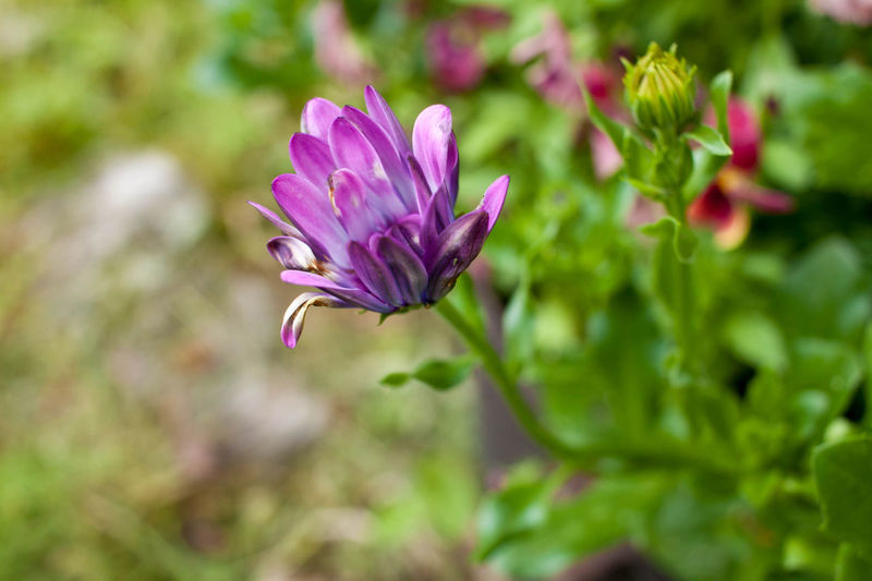 African Daisy Beauty In Nature Blooming Blossom Botany Close-up Day Flower Flower Head Focus On Foreground Fragility Freshness Growth In Bloom Nature No People Outdoors Petal Plant Purple Single Flower Softness