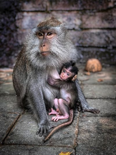 Monkey Mama Baby Mother Monkey Primate Animal Wildlife Animals In The Wild No People Mammal Vertebrate Day Young Animal One Animal Focus On Foreground Sitting Sunlight Close-up Animal Family Care