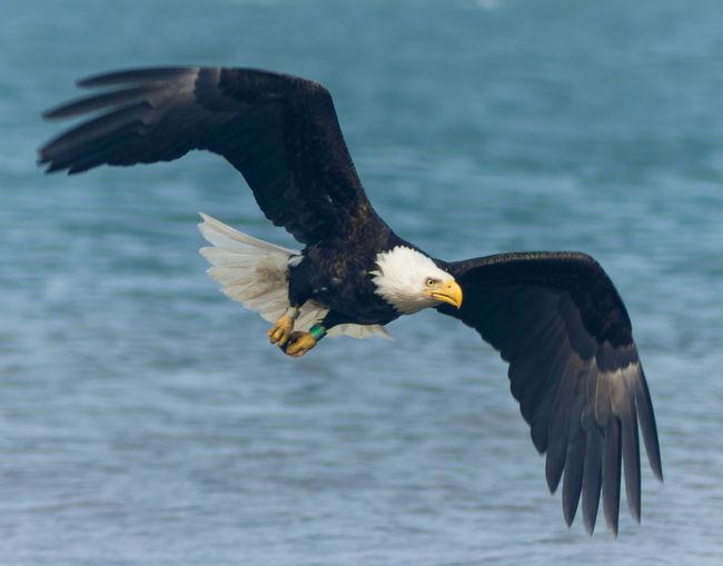 Bald eagle flying over sea
