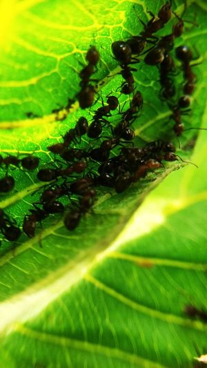 ant Leaf Insect Close-up Animal Themes Green Color Ant Colony