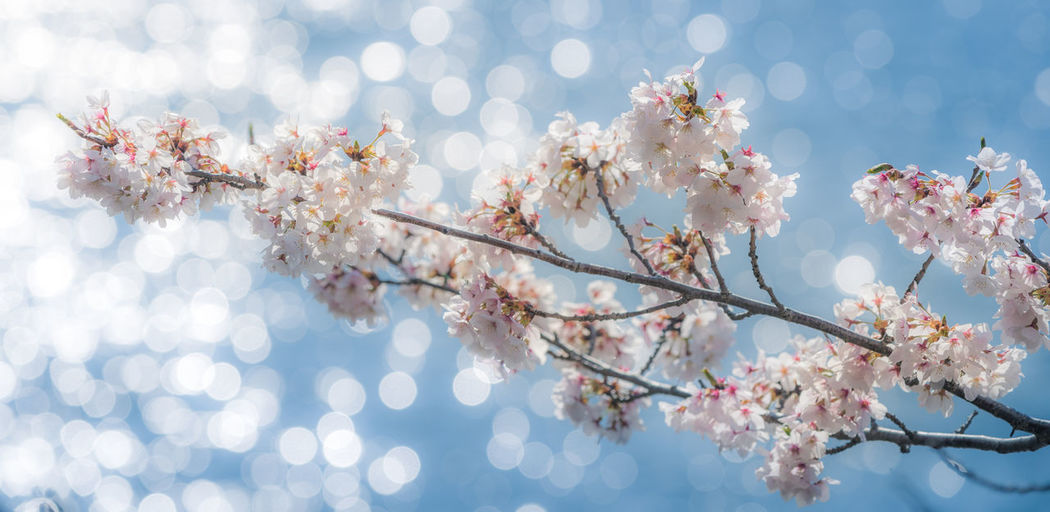 Low Angle View Of Cherry Blossoms Growing On Tree Against Sea