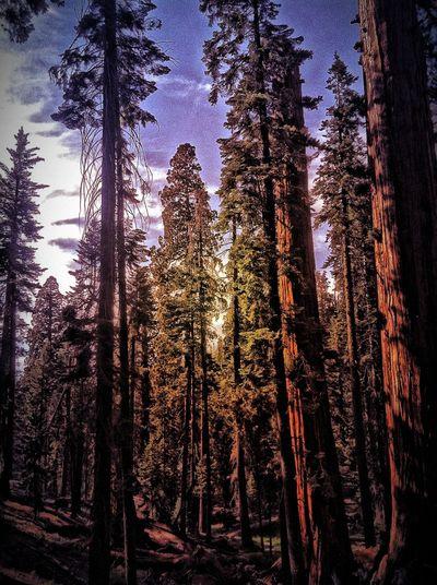 Trees Seqouia Trees