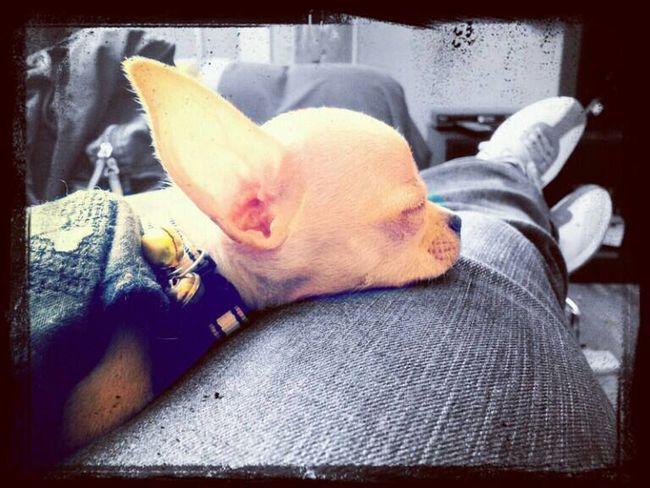 ZzZzZz Chihuahua Puppy Mybaby Modelpuppy Sleeping