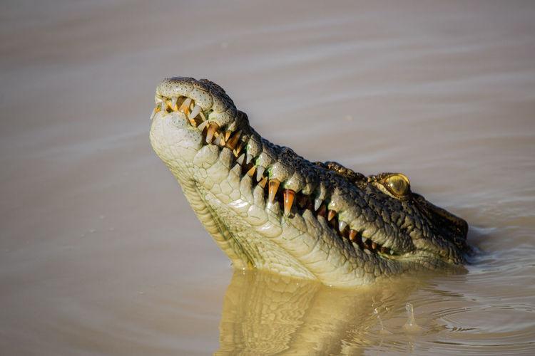 Close-up of crocodile swimming in river