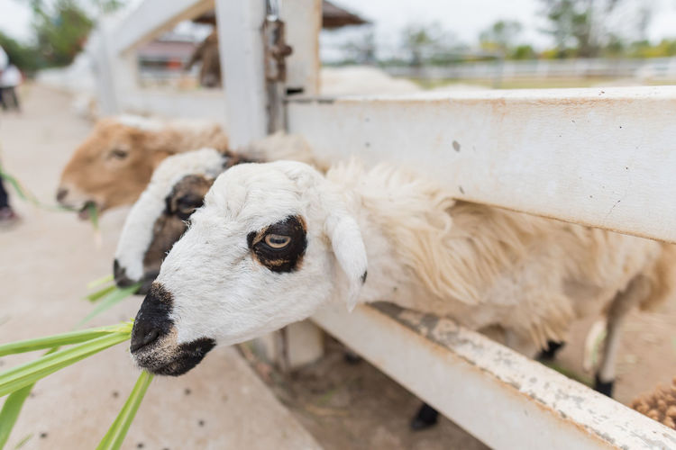 Farm Grass Masses Sheep