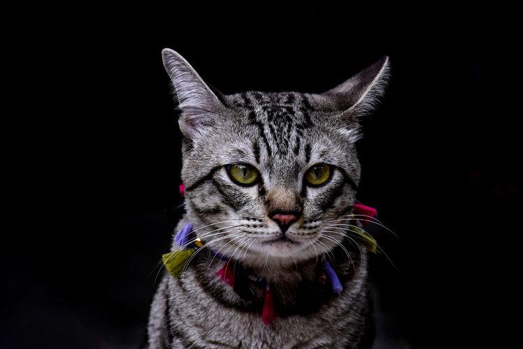 Close-up portrait of a cat against black background