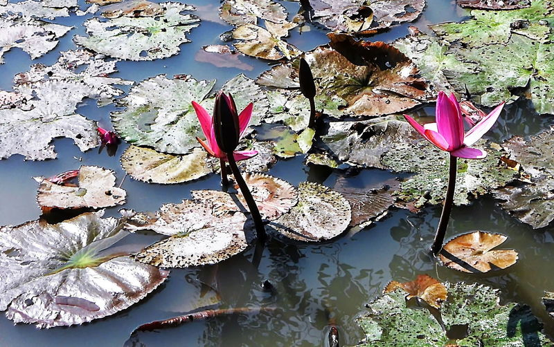 Red lotus in