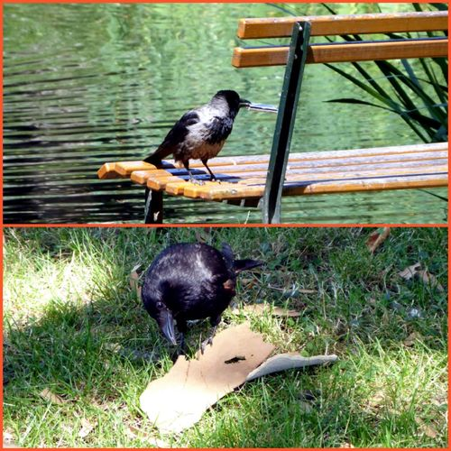 Es gibt immer was zu tun🙄😂 Birdwatching Ravenbird Pondlife Raben Animal Themes Crows Funny For My Friends🙄🙋♀️ Beauty In Nature Simple Beauty Simple Photography Busy Crowd Happy Friday🙋♂️😚 Bird Water Lake Animal Themes Grass