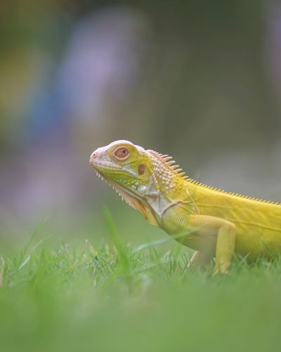 Close-up of lizard on a field